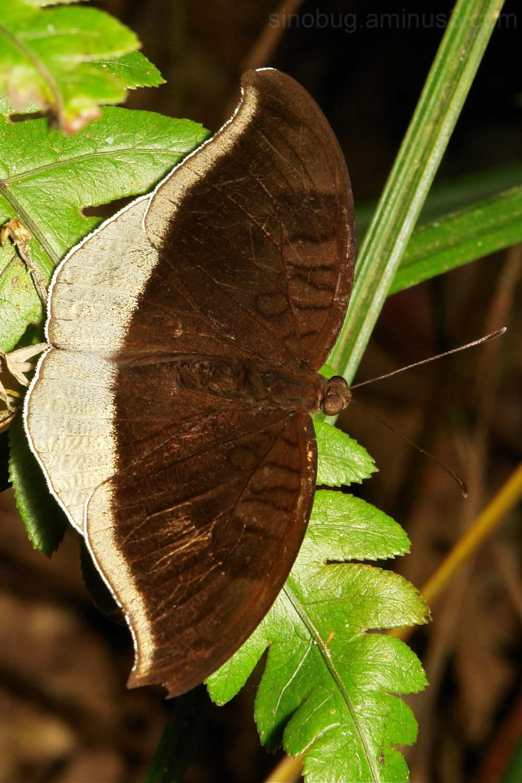 Grey Count Tanaecia lepidea Nymphalidae China