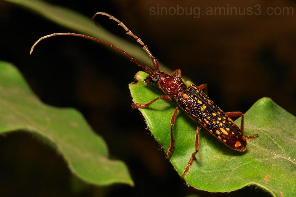 Longhorn Beetle Xoanodera maculata Cerambycidae