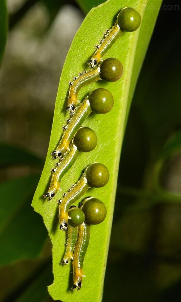 Nolidae Moth Caterpillar China Yunnan