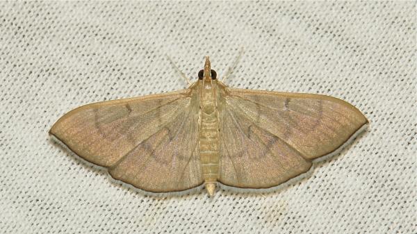 Moth Spilomelinae Crambidae China Yunnan