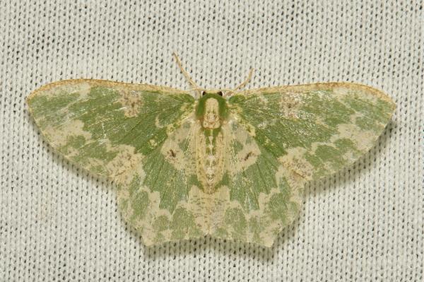 Geometridae Moth Eucyclodes Geometrinae