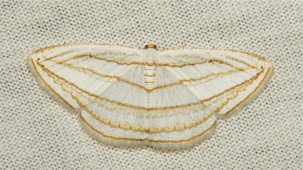 Geometridae Moth Orthocabera sericea Ennominae
