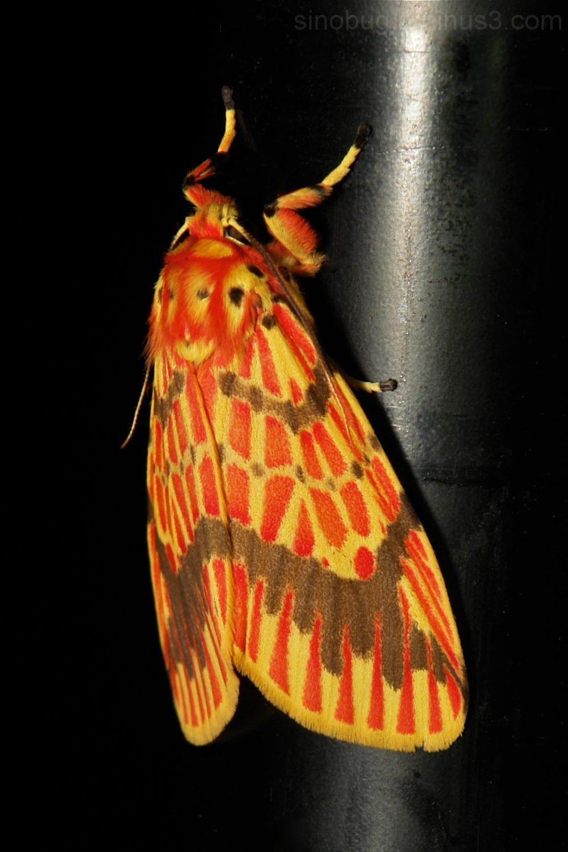 Footman Moth Barsine Lithosiini Arctiinae China