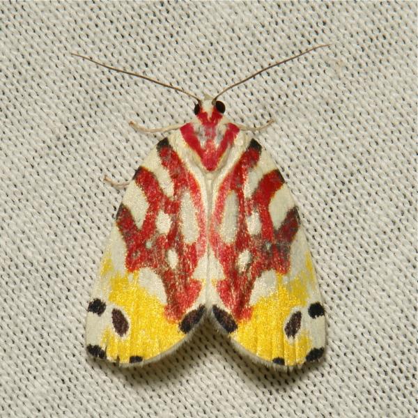 Flower Moth Sinna floralis Chloephorinae Nolidae