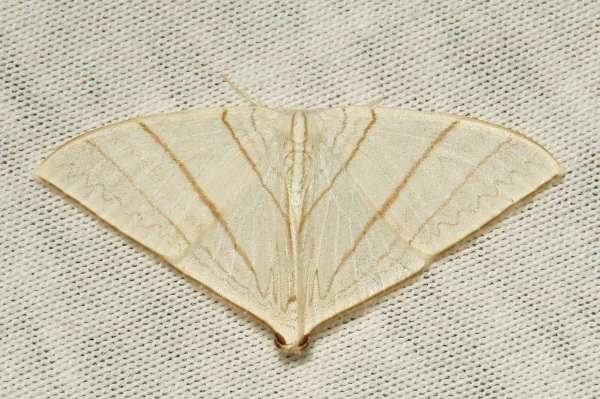 Drepanidae Moth Ditrigona triangularia Drepaninae