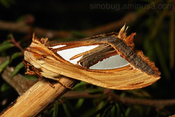Prominent Moth Tarsolepis taiwana Notodontidae