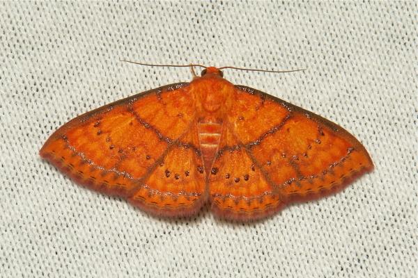 Noctuidae Moth Homodes vivida Catocalinae