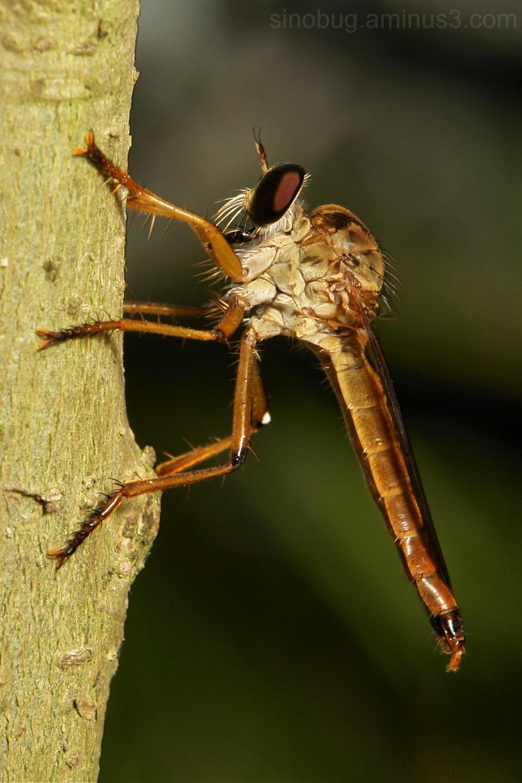 Robber Fly Asilidae Diptera Yunnan China