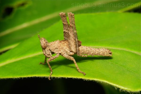 Monkey grasshopper Nymph Chorotypidae Orthoptera