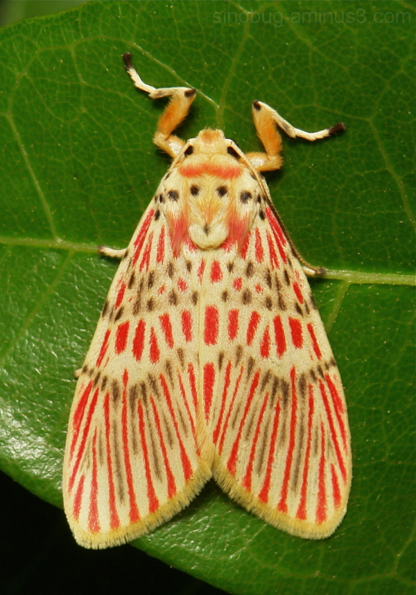 Footman Moth Barsine orientalis Lithosiini China