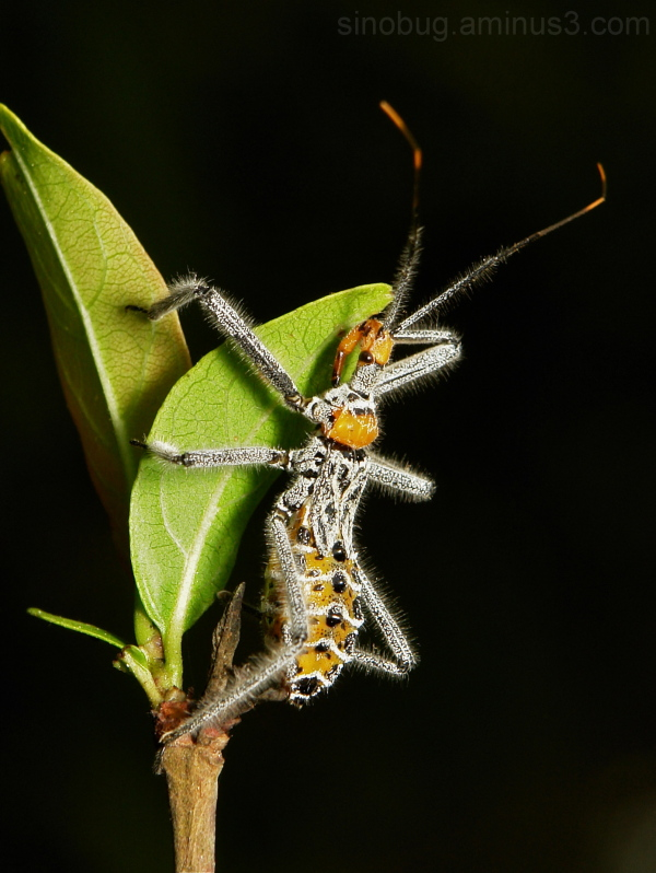 Assassin Bug Nymph Reduviidae Hemiptera China