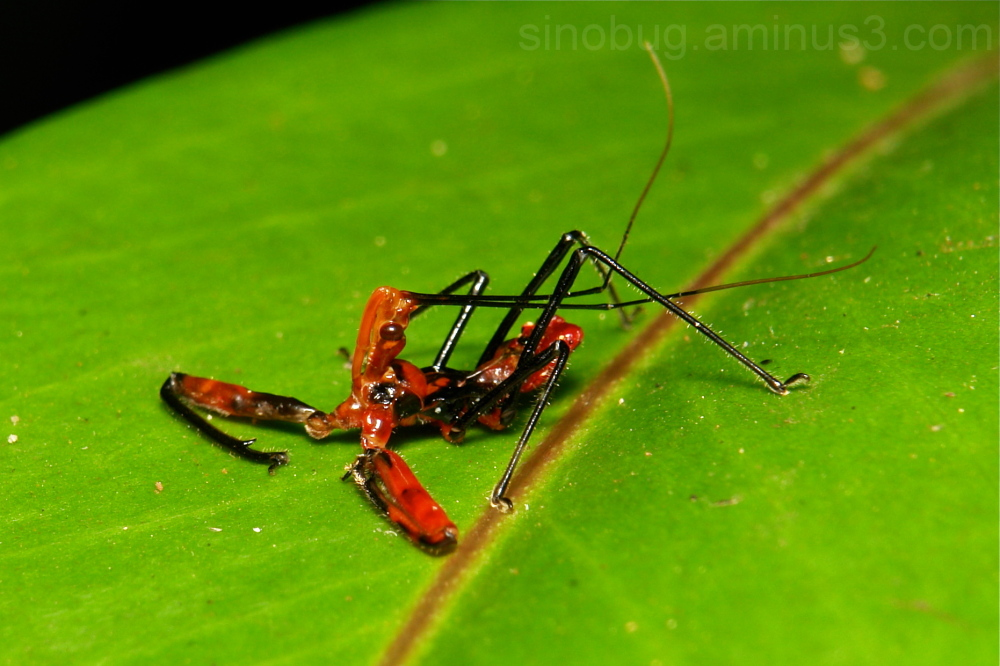 Assassin Bug Nymph Rihirbus Reduviidae China