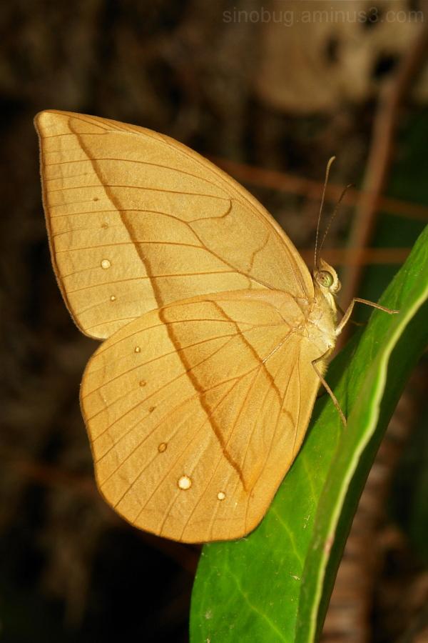 Dryad Aemona amathusia Morphinae Nymphalidae China