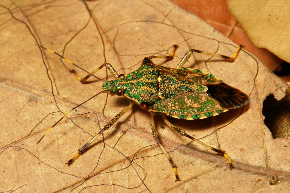 Pentatomidae Shield Bug Dalpada Yunnan China