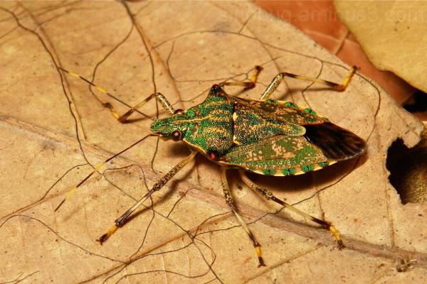 Pentatomidae Shield Bug Dalpada Yunnan China
