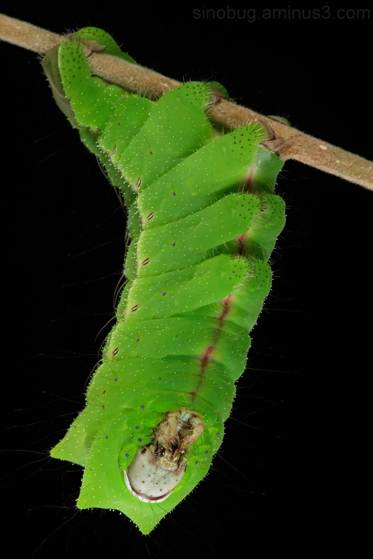 Chinese Oak Silkmoth Caterpillar Antheraea pernyi