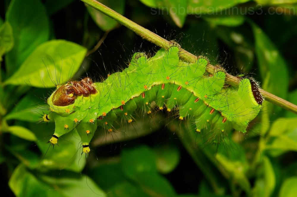 Moon Moth Caterpillar Actias selene Saturniidae