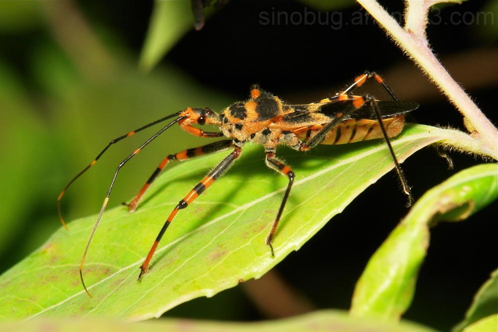 Assassin Bug Reduviidae Yunnan China