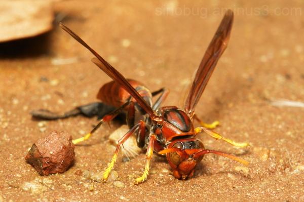 Paper Wasp Polistes Vespidae Yunnan China