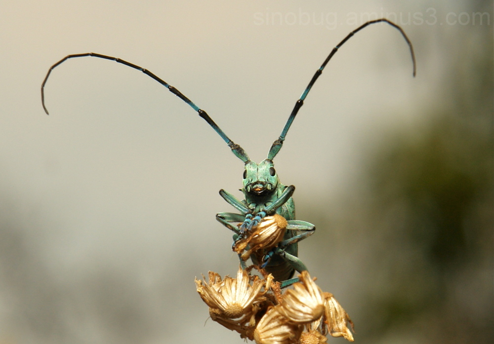 Longhorn Beetle Anoplophora beryllina Cerambycidae