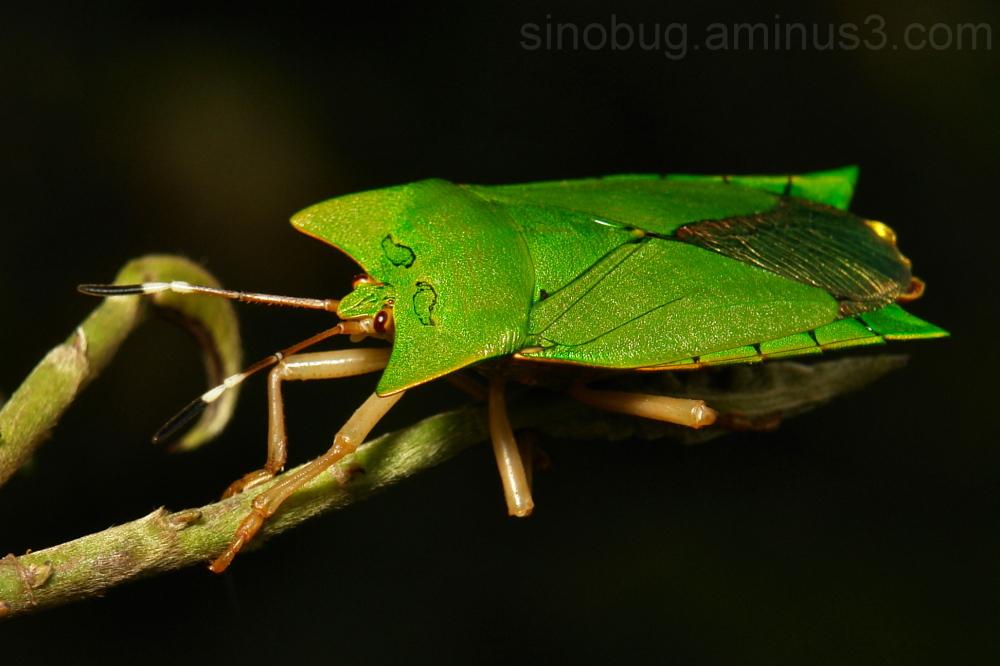 Giant Shield Bug Asiarcha angulosa Tessaratomidae