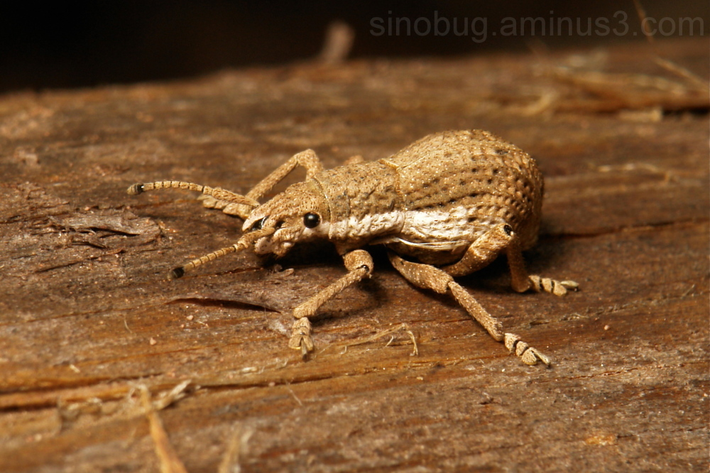 Weevil Curculionidae Yunnan China snout beetle
