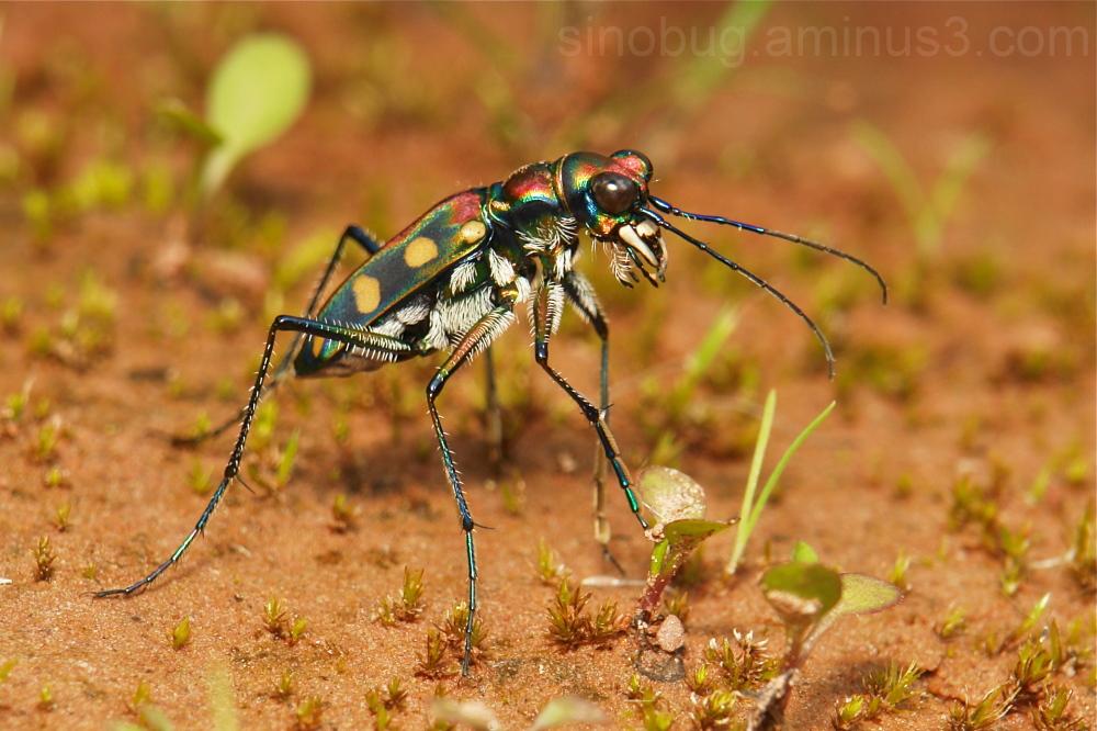 Tiger Beetle Cosmodela aurulenta Cicindelinae