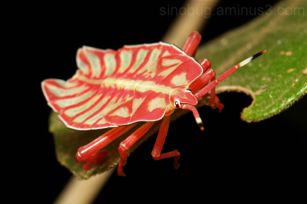 Giant Shield Bug Nymph Tessaratomidae China