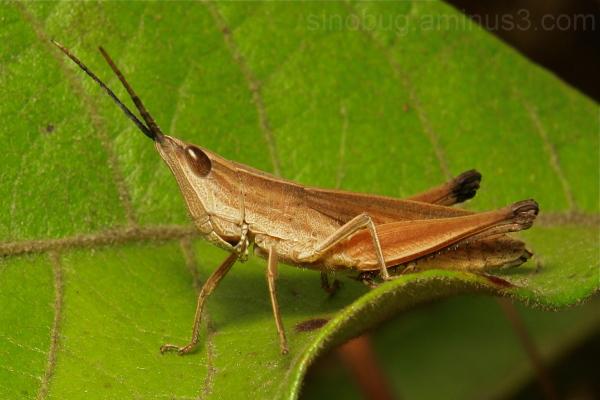 Phlaeoba antennata Gomphocerinae Acrididae China