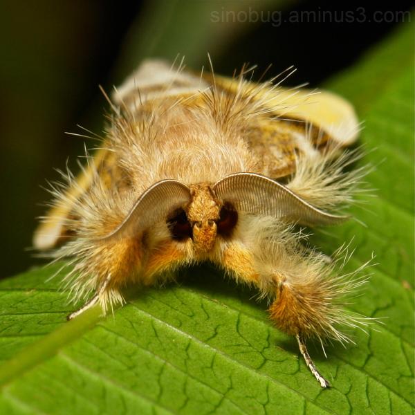 Tussock Moth Pida postalba Lymantriinae Erebidae