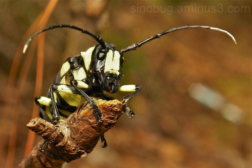 Longhorn Thermistis sulphureonotata Lamiinae China