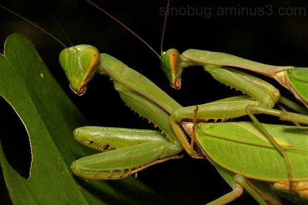 Giant Asian Mantis Hierodula  China