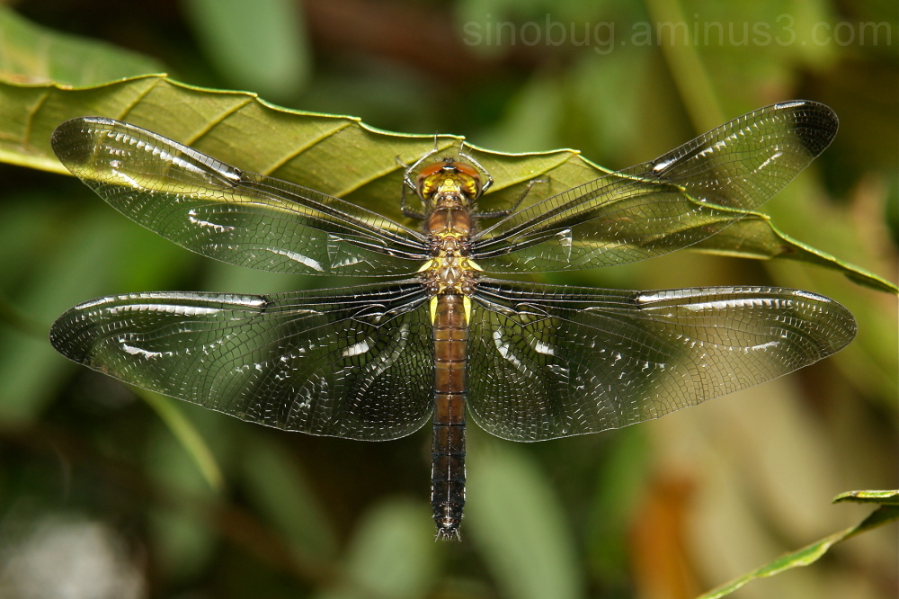dragonfly Odonata China Yunnan