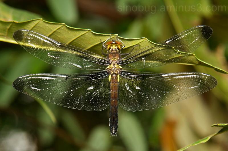 dragonfly Odonata China Yunnan