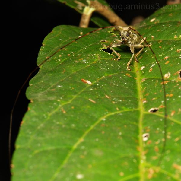 longhorn beetle antennae Cerambycidae China Yunnan