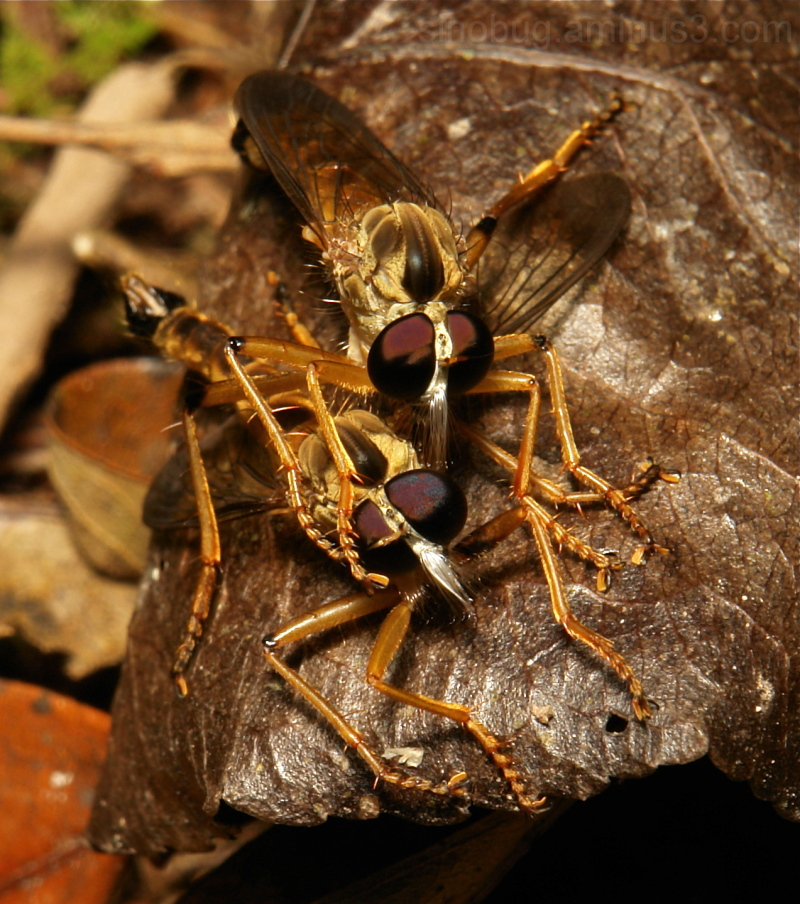 robber fly Asilidae Diptera cannibalism Yunnan