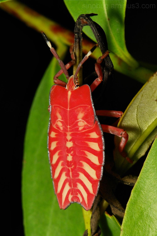 Tessaratomidae bug shield stink nymph Hemiptera
