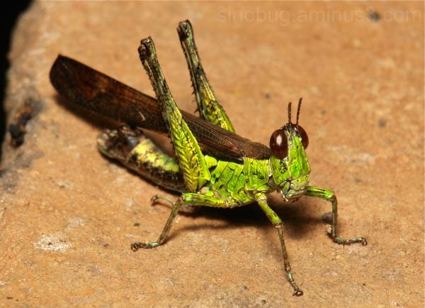 Monkey Grasshopper Erianthus Chorotypidae China