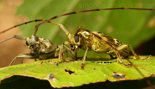 Longhorn Beetle Cerambycidae China Yunnan