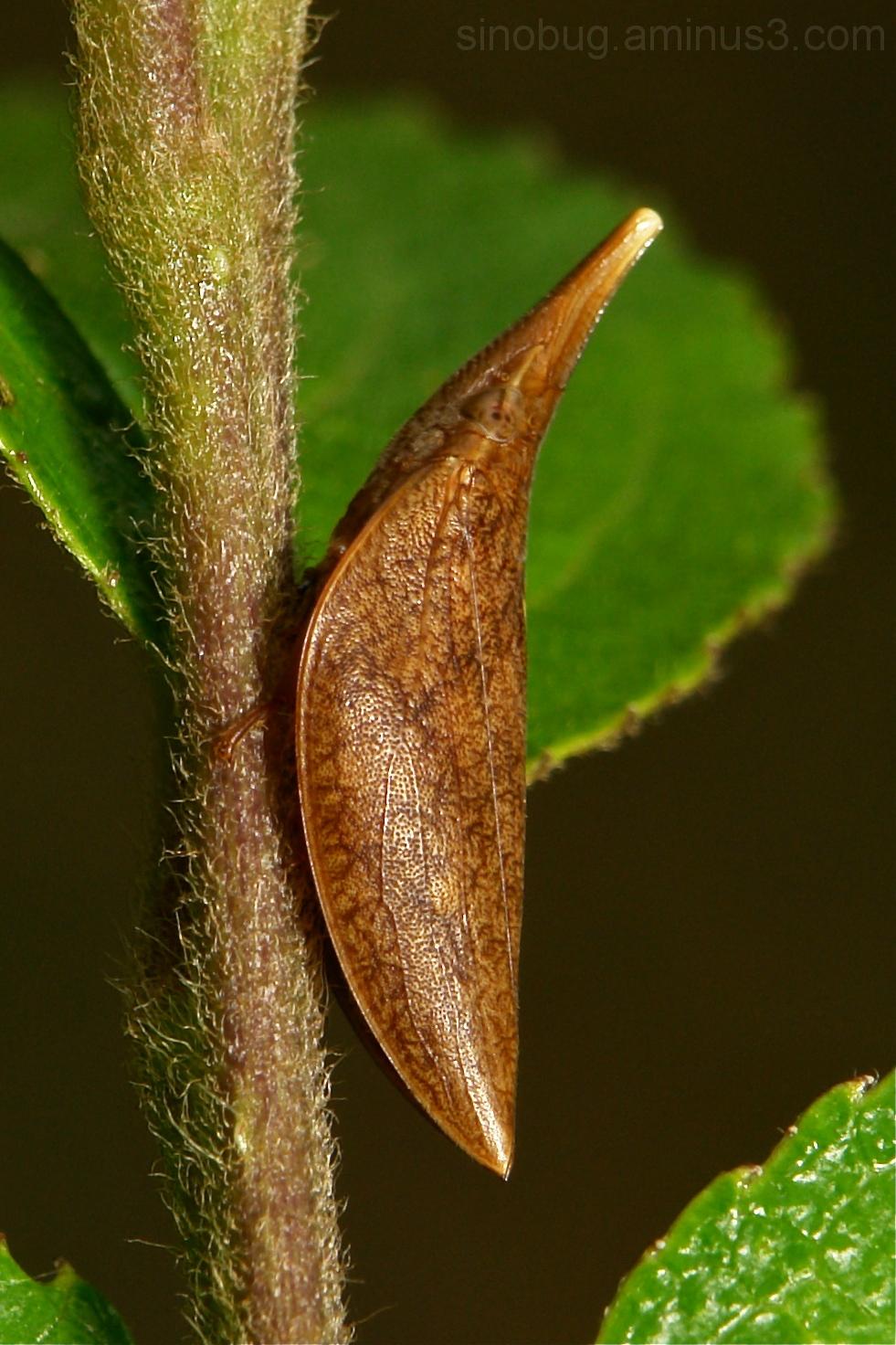 Spittlebug Philagra Aphrophoridae hopper China