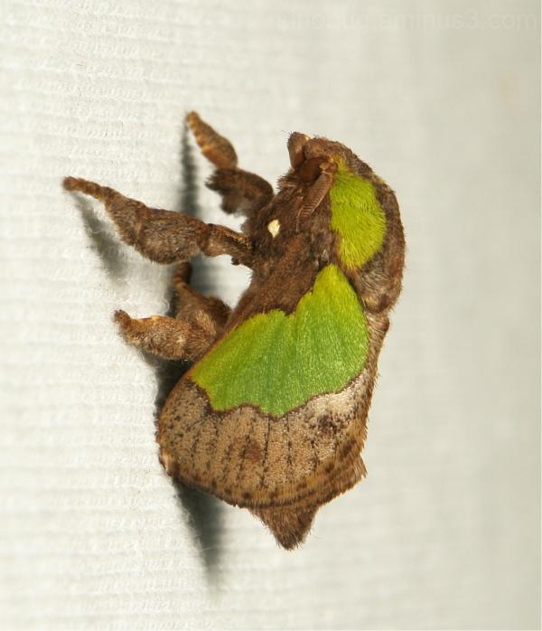 Cup Moth Parasa Limacodidae Yunnan China