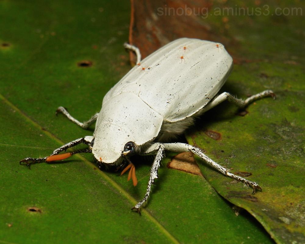 White Scarab Beetle Cyphochilus insulanus China