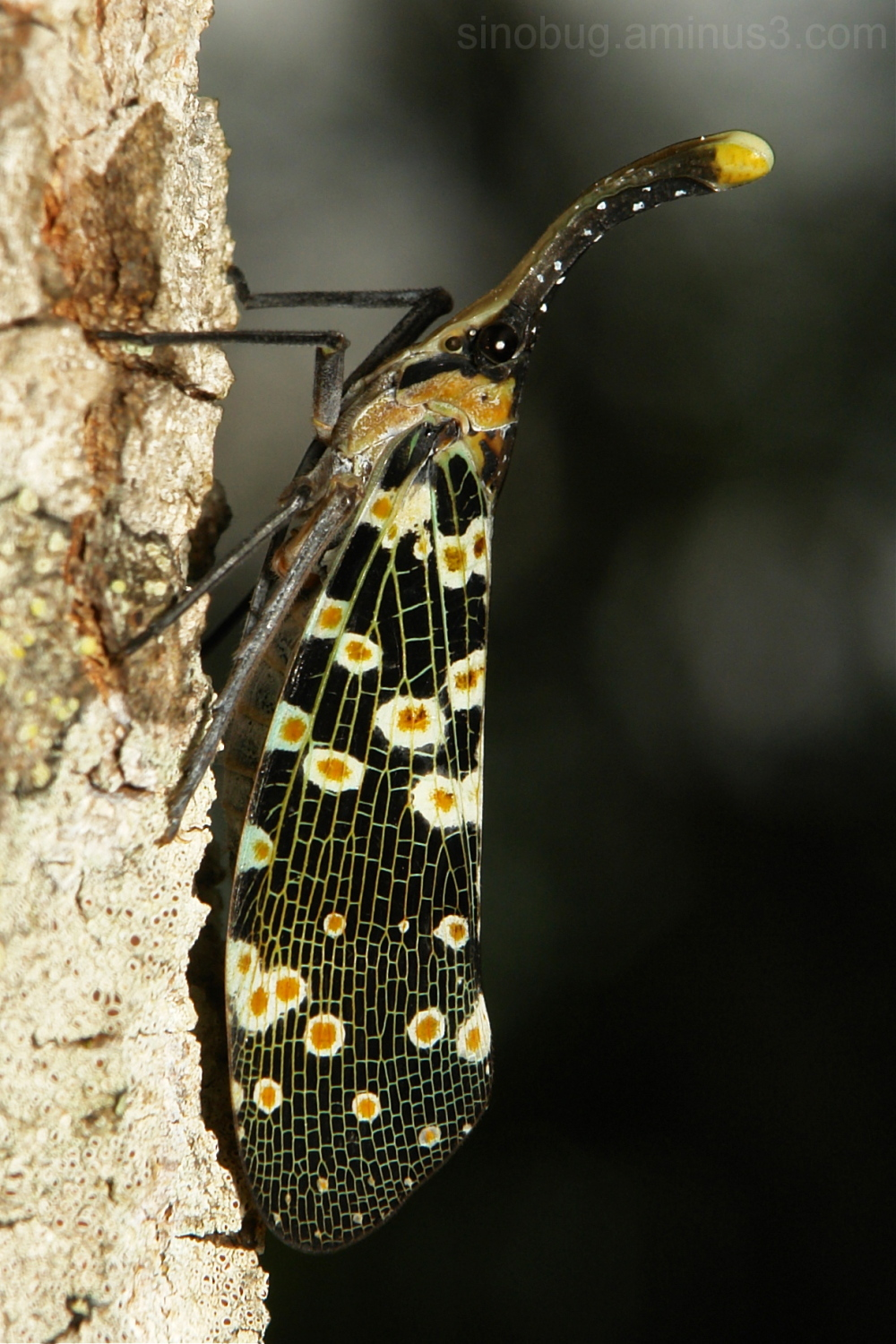 Lantern Fly Pyrops Fulgoridae hopper China