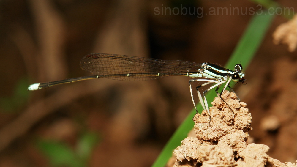 Damselfly Copera annulata Platycnemididae China