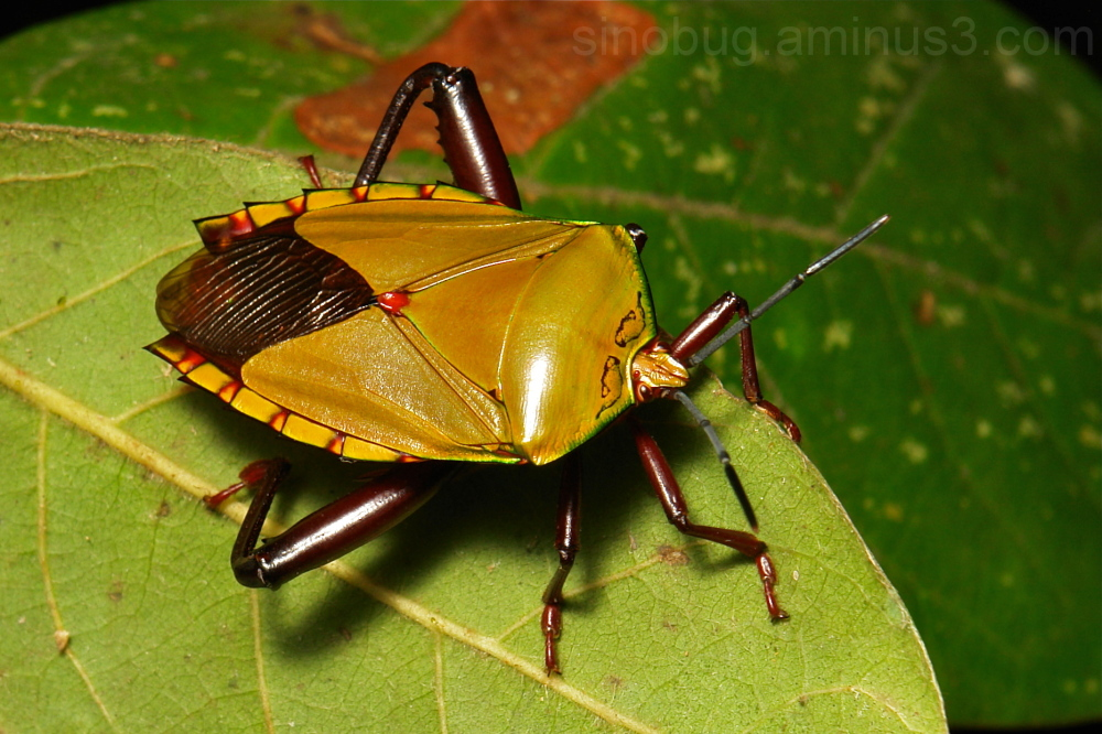 Giant Shield Bug Tessaratomidae stink China Yunnan
