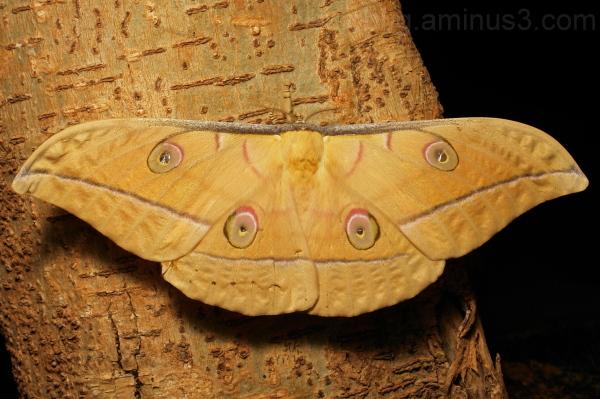 Chinese Oak Silkmoth Antheraea pernyi Saturniidae