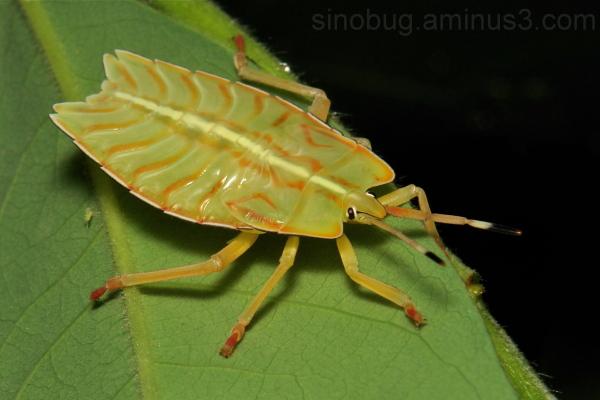 Stink Bug Nymph Tessaratomidae Hemiptera shield