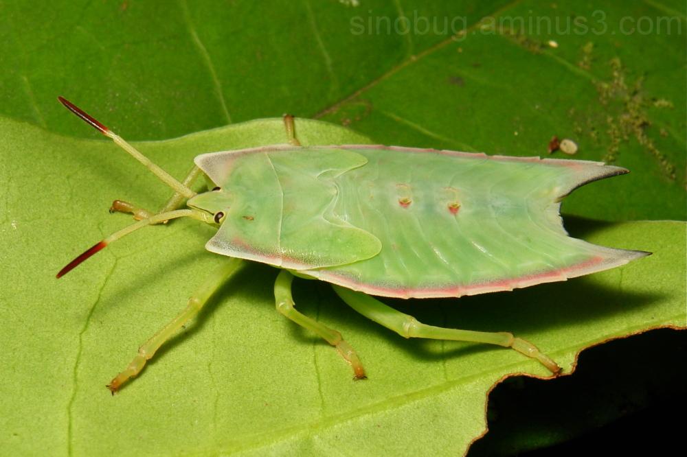 Giant Shield Bug Nymph Tessaratomidae stink China
