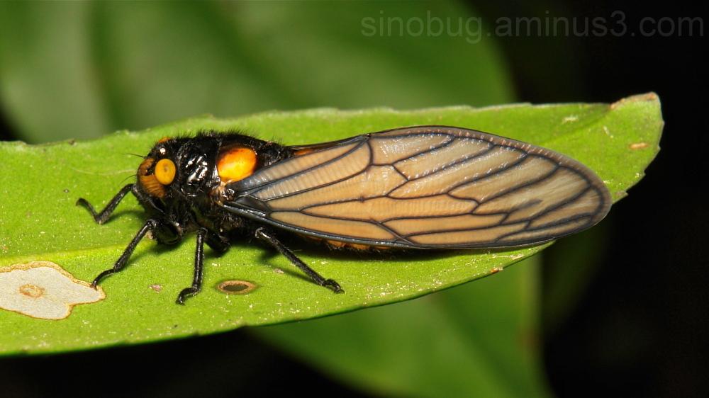 Cicada Huechys fusca Cicadidae Hemiptera China
