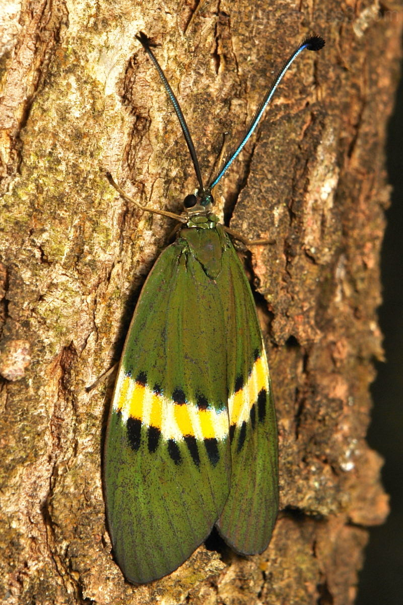 Day-Flying Moth Eterusia repleta Zygaenidae China